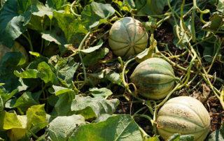 melon fruit blotch