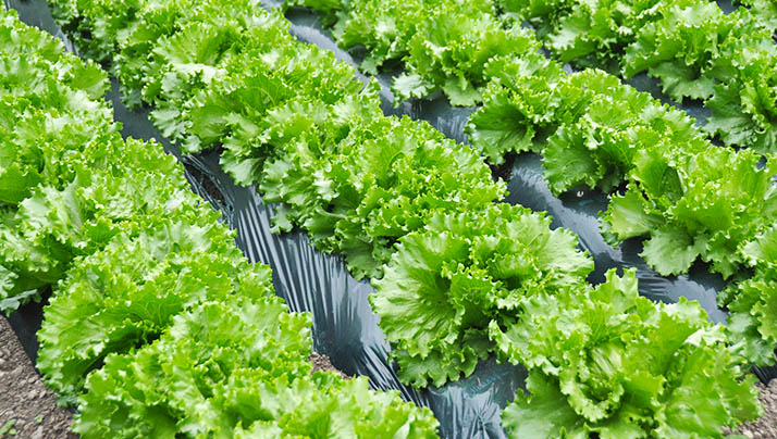 Healthy lettuce in rows